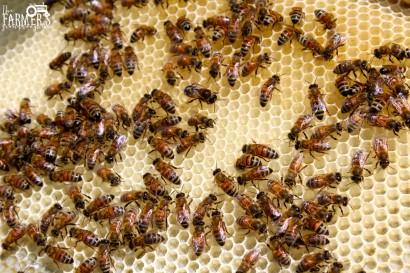 bees on empty comb