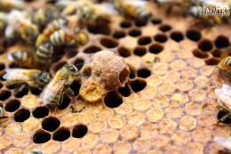 worker bees create new queen