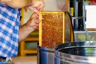 Frames of honey are put into an extrator in order to extract the honey from cells