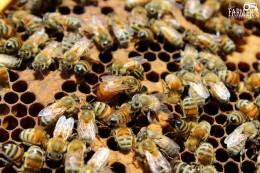 Queen bee lays egg