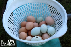 A basket of eggs courtesy of Dunbar's chickens.
