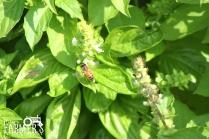 A honey bee pollinates flowers in Dunbar Garden.