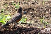 A robin finds home to Dunbar Garden too.